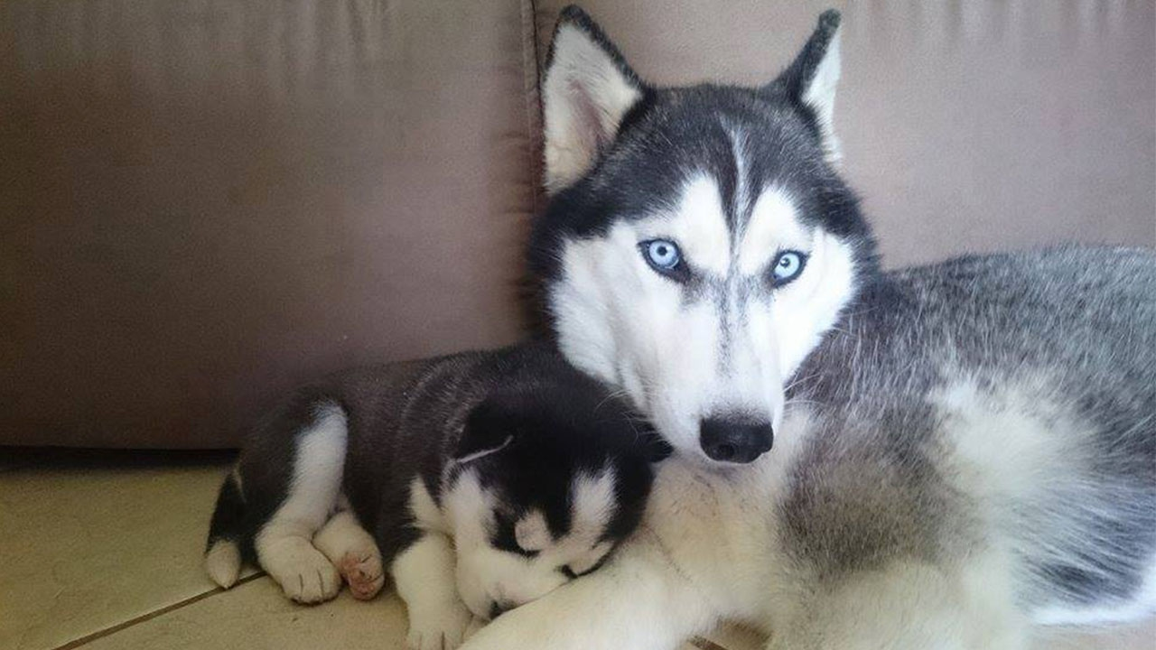 Proud Siberian Husky dad plays with its 9 babies for the ...