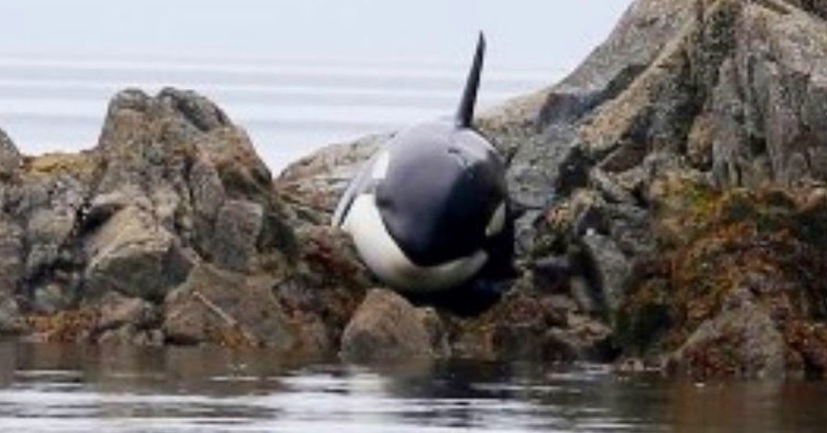This Orca was stuck and crying for hours, but a group of