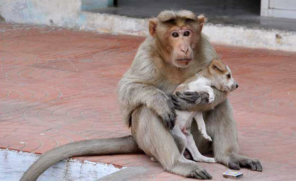 Image result for Monkey finds stray puppy – adopts him as her own and protects him from other stray dogs