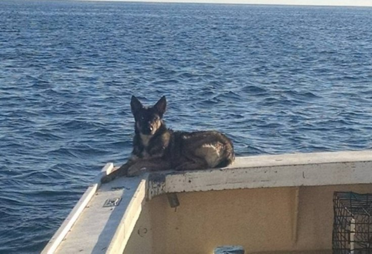 German shepherd found alive after being lost in the Pacific Ocean for 5 weeks