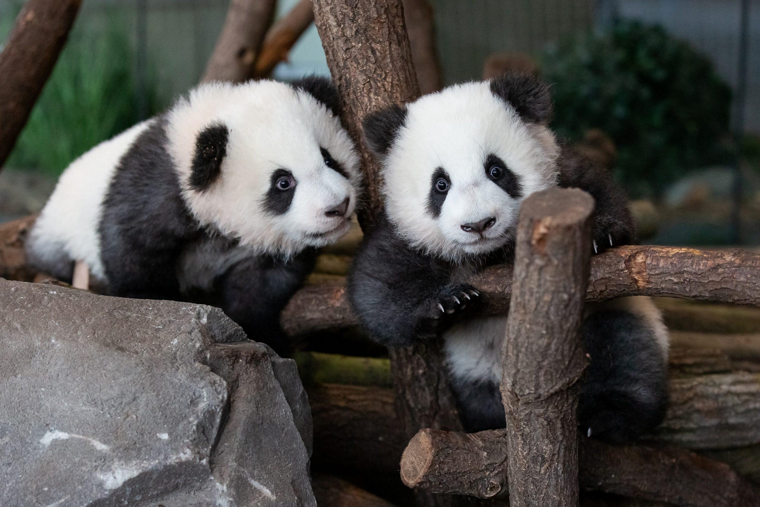 Pandabären Deutschland
