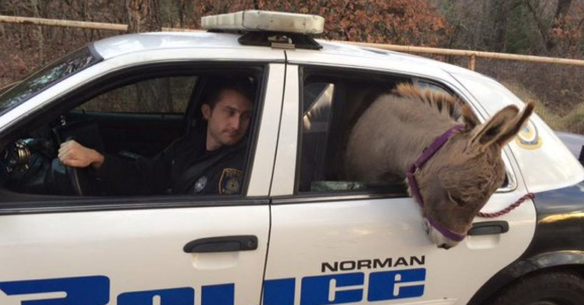 Cop saves donkey from busy highway, drives it safety in patrol car